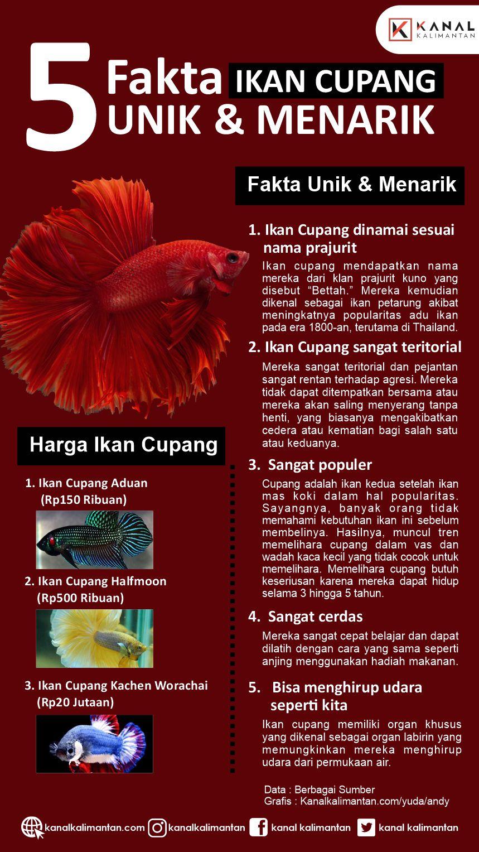 Fakta Ikan Cupang